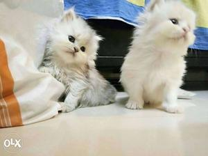 Plyful healthy pure breed kittens for sale in