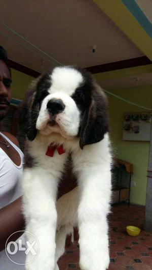 Show quality American imported saint Bernard dog puppies for