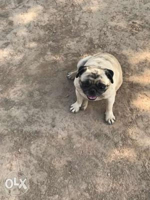 Show quality Fawn Pug female at very low price under nose