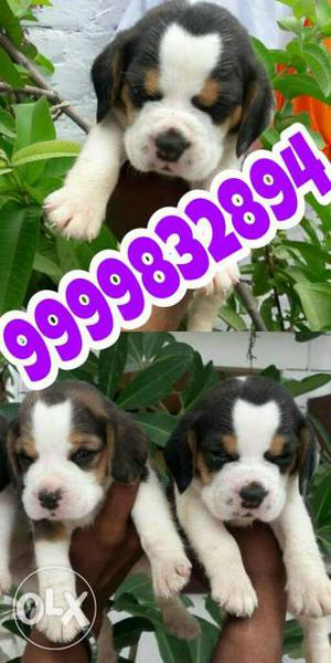 SuperB Quality Beagle Thailand Wale Heavy pups at Reasonable