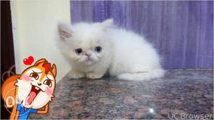 Very beautiful persion kitten..for sale in Jaipur
