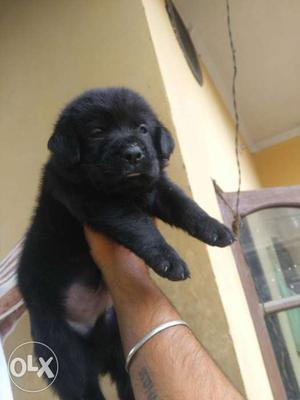 Z black pure labra female puppy for sale..full