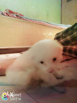 1 month Pomeranian Baby with Superb Quality