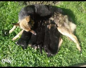 Female German Shepard puppies available here