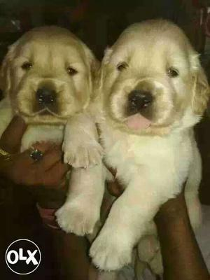Golden retriever puppies available pure breed