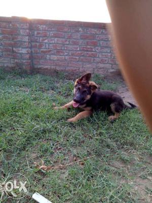 Gsd puppy, pure heavy bone,medium coat of 3