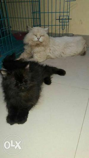 I want to sale my persian Pregnent cat