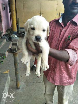 Lab male and female puppies available for sale in