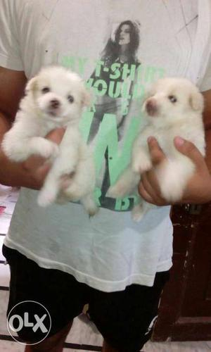 O6 pamerian male puppy top quality available in
