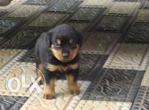 Rottweiler Puppy (female) For Sale In Trivandrum