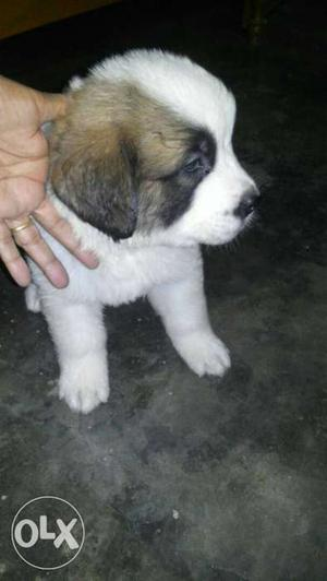 Tiwari kennel saint Bernard pups ready for sale