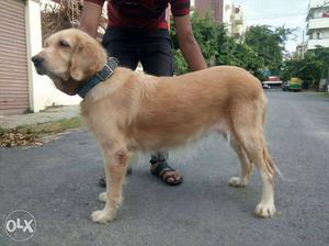 Urgent sale feamale 3 years old
