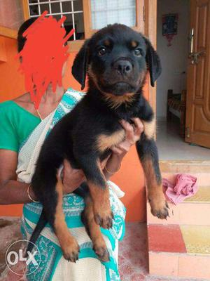 Very huge size rottweiler male puppy for sales in chennai