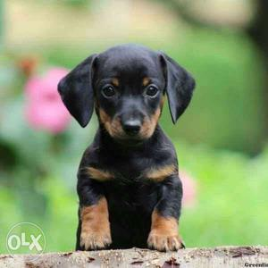 Black And Tan Dachshund Puppies available pure breed