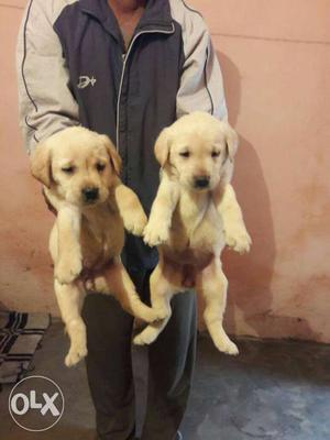 Fwan Colour labradore puppies available male