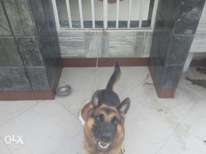 Requirement of Female German Shepherd for Mating of my Male