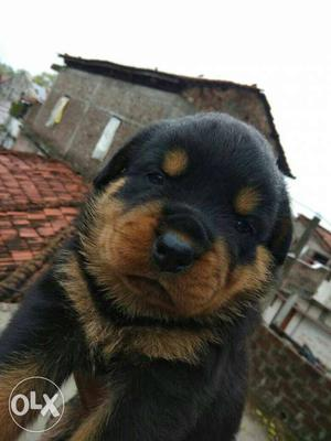 Rottweiler female puppies sale price depends on