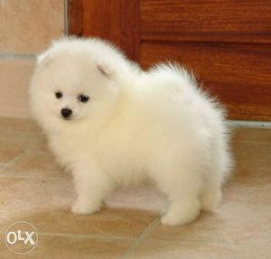 Thailand Import POMERANIAN Snow White Puppies For Sell In