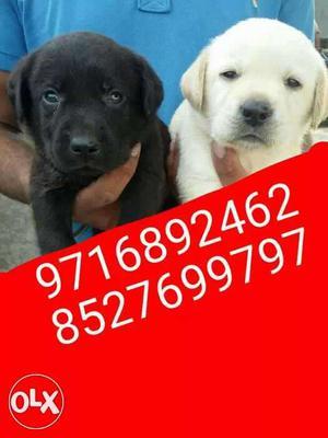 DFW kennel superub dogs puppies Labrador German