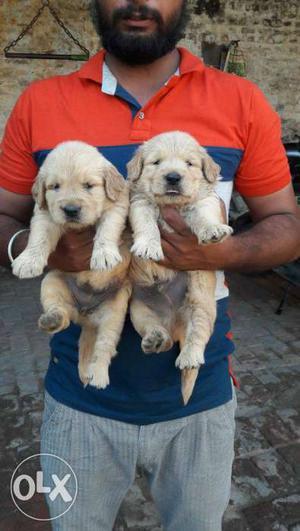 Extraordinary quality golden retriever puppies