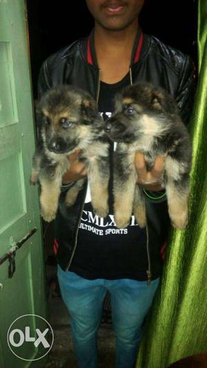 Patna;- i Dogs Puppies And Persian