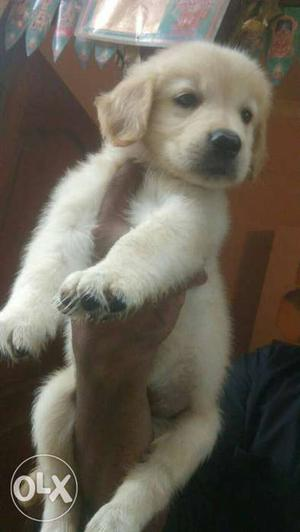 Show Quality Golden Retriever Puppies available