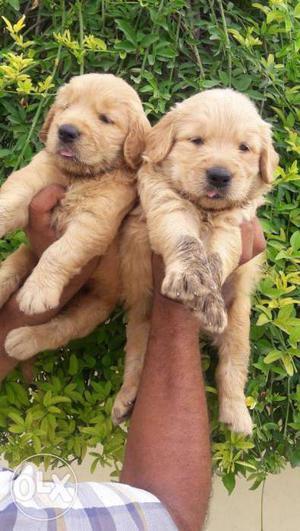 Super quality golden retriever puppies