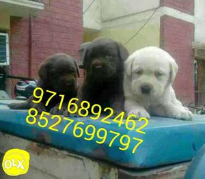 Top quality *k* Labrador pups and all types of