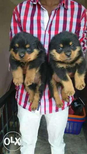 We buy & sell Quality Rottweiler puppies