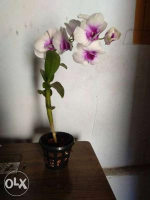 Dendrobium orchid plant with flower