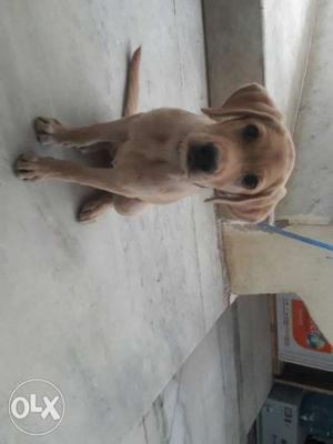 2 months female lab puppy for sale