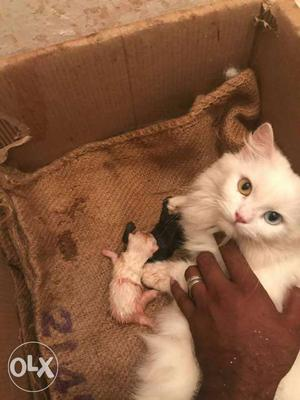 All types kitten's available here transport all