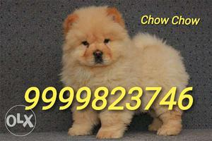 Chow Chow Male Puppy Available in Delhi Top