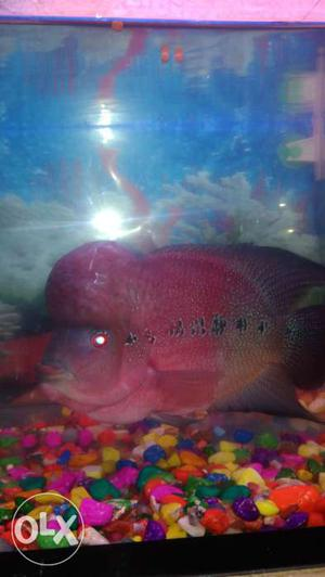 Flowerhorn Fish healthy and big horn male