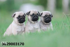 Gentle Cute Original PUG male female puppies available