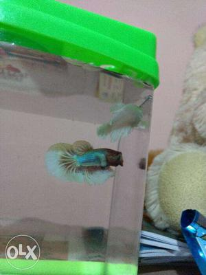 Imported Betta pair available Confirm breeding