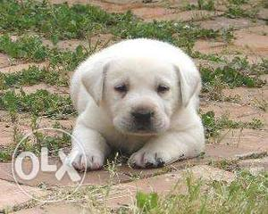 Lab female high quality importing puppies for