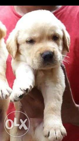 Labrador motu motu puppies available for sell nd all breeds