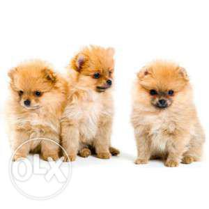 Miniature pomerian puppies available at best prices