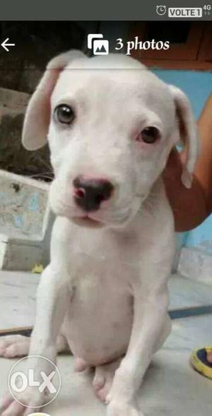 Pitbull puppy at very low price urgent sale age 2 months