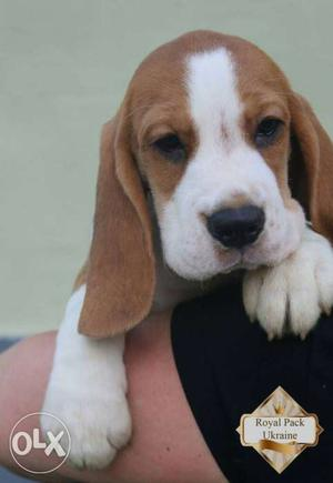 Pure breed tri colour Beagle puppy, home born with their