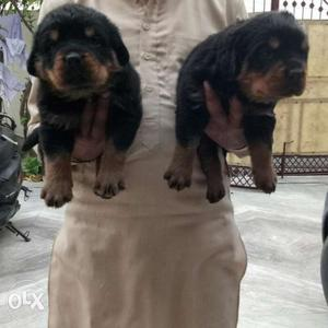 Rottweiler male puppies available all breed