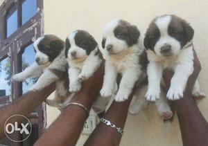 Saint Bernard female puppies sell