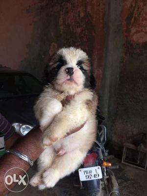 Saint Bernard pups reddy for new home