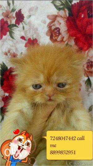 So beautiful very cute persion kitten for sale in