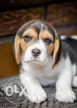 Testify kennel all puppy for sell beagle Puppy 35 Days old