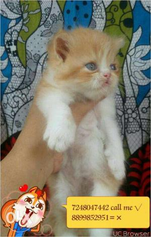 Very beautiful persion kitten for sale in gurgaon