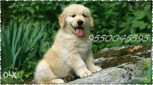 Amazing quality Golden retriever puppies male at