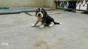 Beagle Superb Puppies Available In Tri And Bi