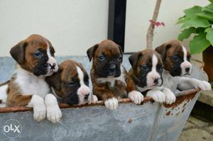 Boxer puppy very good quality heavy bone avalible
